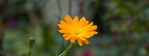 goudsbloem