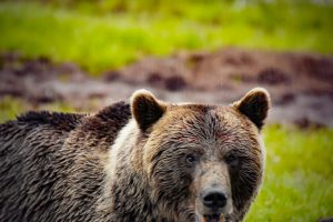 finland bear