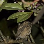 owl indonesia